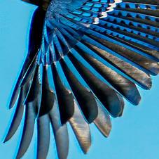 Blue Jay Wing