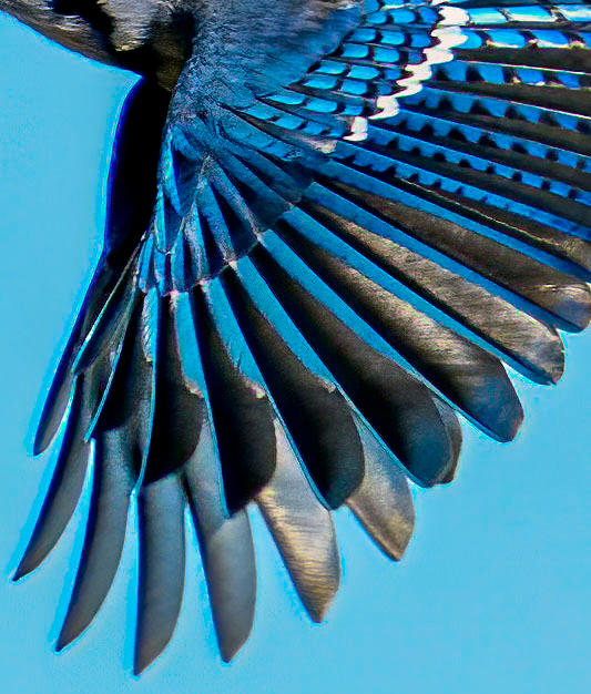 Blue Jay Wing