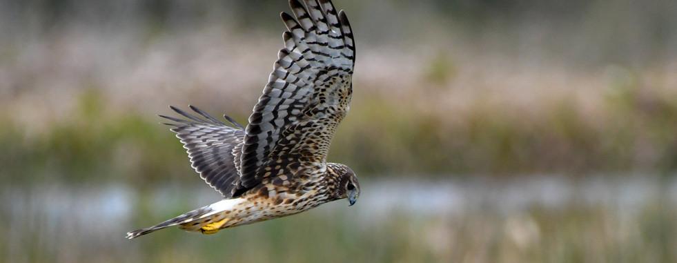 SMS_2719 Northern Harrier.jpg