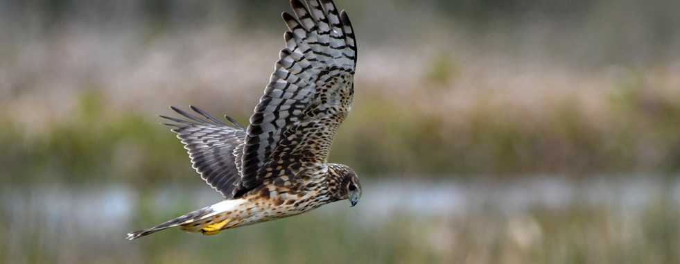 SMS_2719 Northern Harrier.jpg