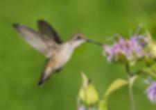 Hummingbird-MBC.jpg