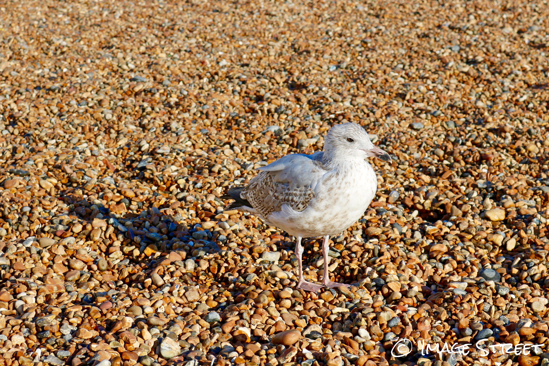 beachgull