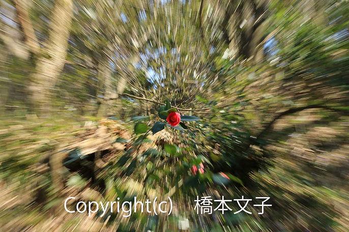17hashimoto雪椿咲く 橋本2532-(002).jpg