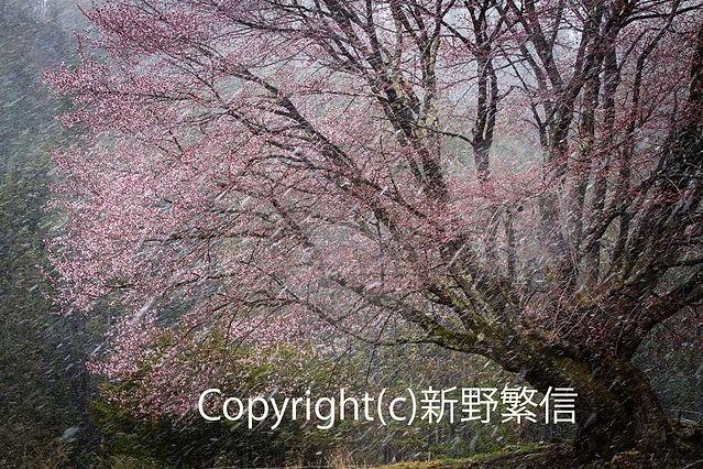10shinno新野 桜もビックリ-(002).jpg