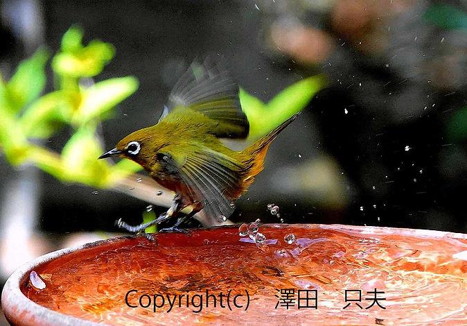 16sawada澤田 メジロの幅跳び.jpg