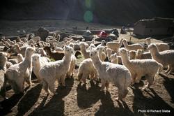 PERU, alpaky