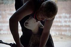 Herdwick ewe - 2.jpg
