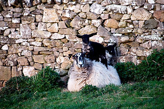 Lambs standing on ewe.jpg