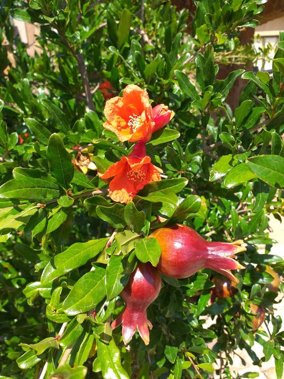 The Pomegranate, a symbol of abundance