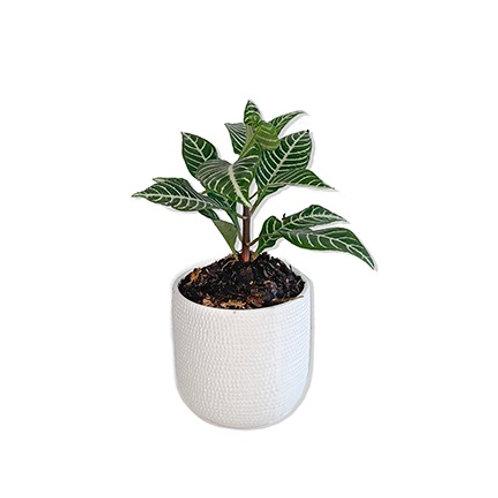 Planta Aphalandra