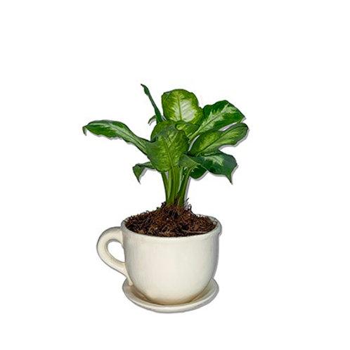 Planta Mariana