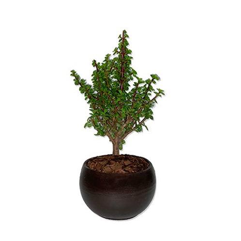 Planta de la abundancia