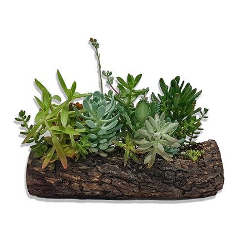 Tronco natural con plantas suculentas