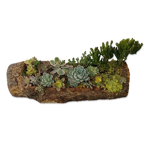Maceta grande de tronco natural con plantas suculentas