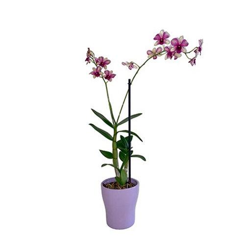 Orquidea Drenbradium morada