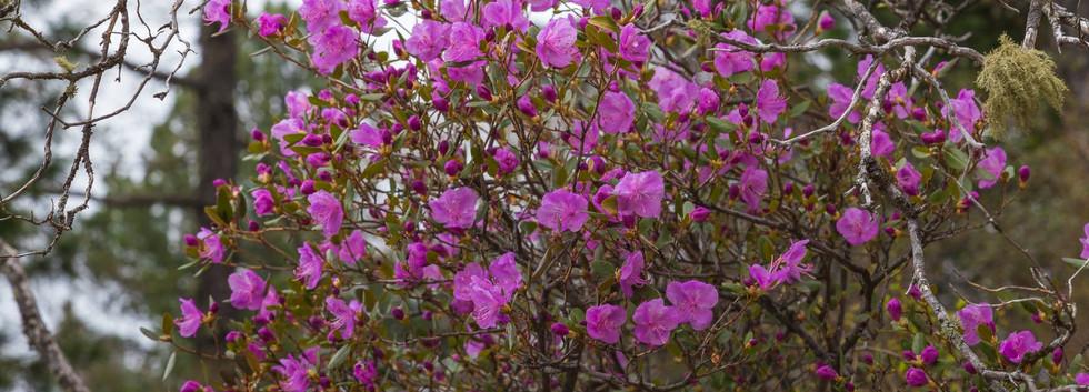 Цветение маральника в Горном Алтае.