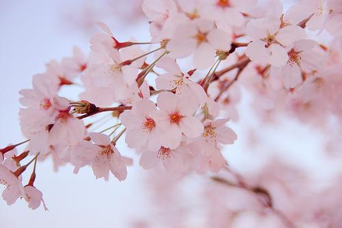 image sakura