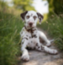 Bailey the 6 week old Dalmatian puppy.