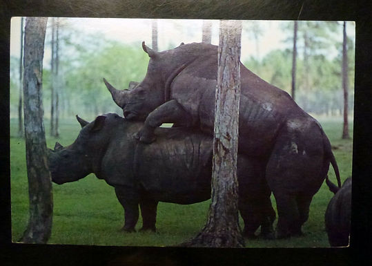 RPPC Postcard of Black Rhinoceros Mating 1981