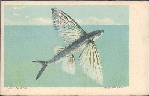 1906 Flying Fish Postcard