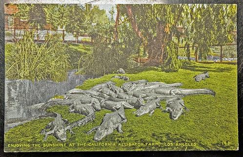Tourist Attraction no longer open California ALLIGATOR FARM Los Angeles Postcard