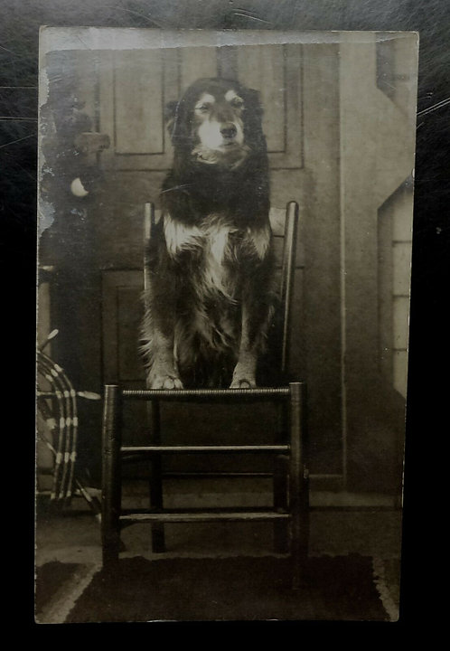 RPPC Long Haired Dog sitting in chair, Victorian Dog looking majestic