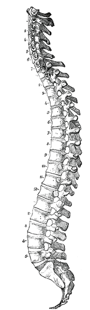 human-spine-drawing-spinal-cord-tumblr-t