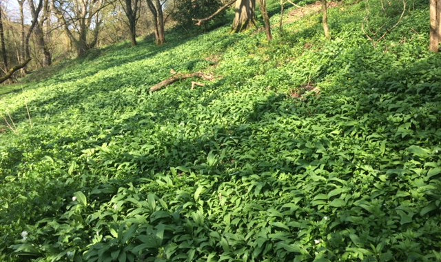 Wild garlic at Fenton Farm