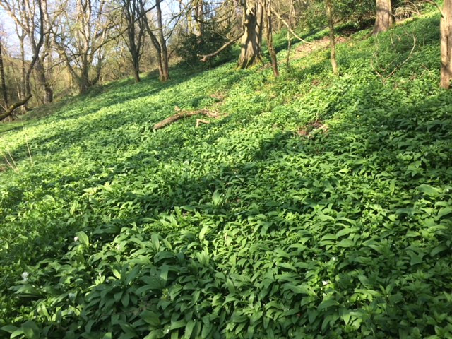 Wild garlic at Fenton Farm
