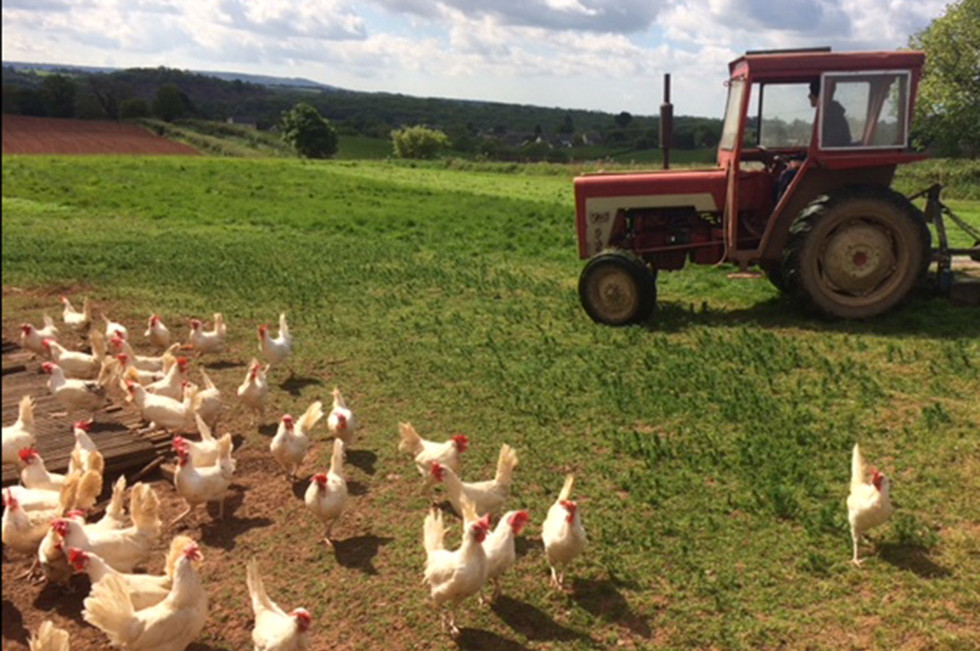 White Leghorns by the Tractor