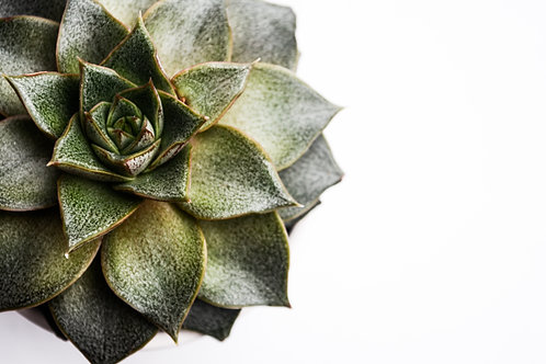 'Succulent' Photo Print