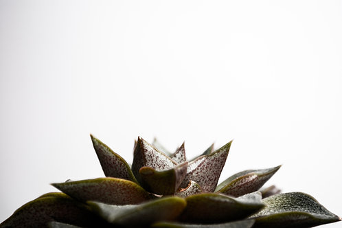 'Succulent III' Photo Print