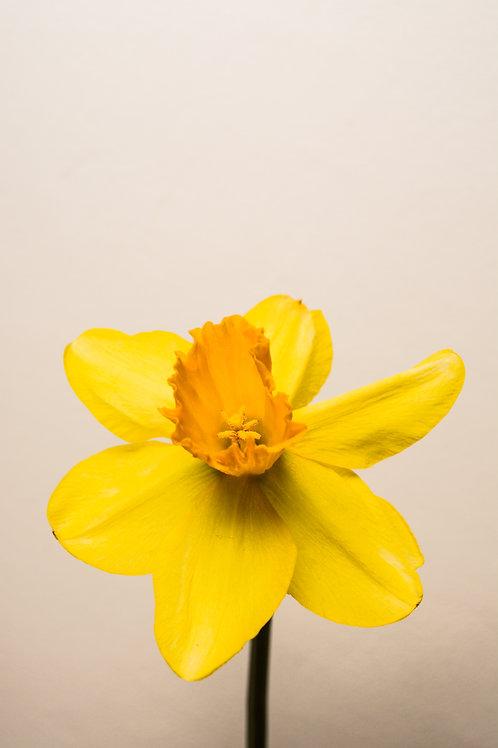 'Daffodil' Photo Print