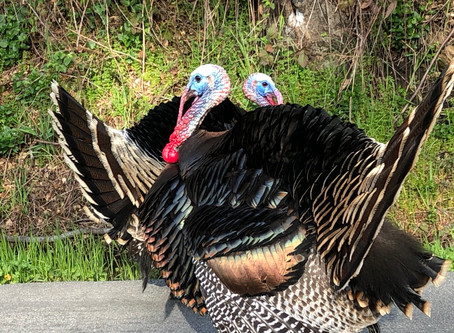 Turkeys and Riding on a the Back of a Jaguar