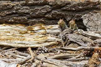 Streifen-Backenhörnchen in freier Wildbahn - Kalifornien USA