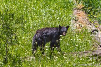 Amerikanischer Schwarzbär in freier Wildbahn - Kalifornien, USA