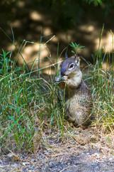 Westliches Grauhörnchen in freier Wildbahn - Kalifornien USA
