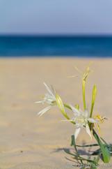 Blume am Meer - Sardinien, Italien