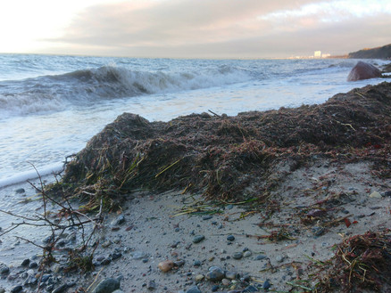 Beach wrack - How to convert a smelly nuisance to a profitable resource