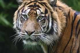 tiger-4458133_1920.jpg