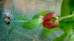 Swimming_Tulips_