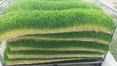Sprouting Barley, Fodder Barley
