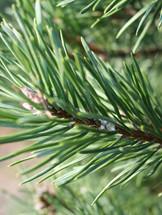 balsam_fir_tree_detail.jpg