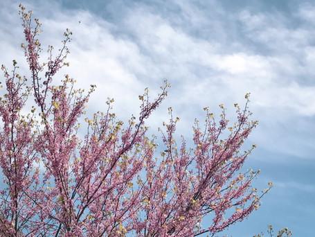 Eastern Redbud Tree in spring
