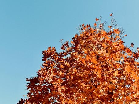 Maple tree in fall