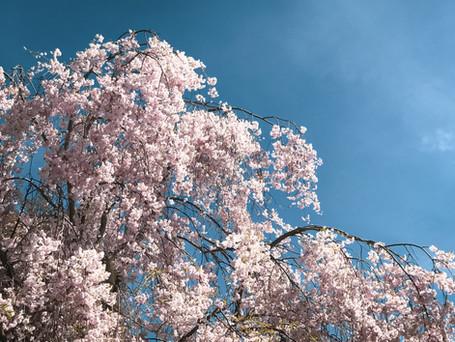 Weeping Yoshino Cherry Tree in spring