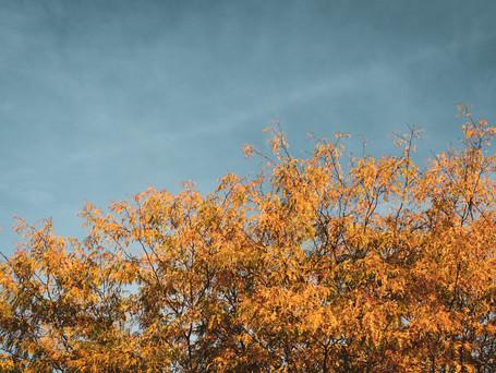 Locust Tree in fall