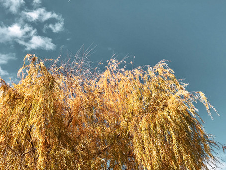 Willow tree in fall