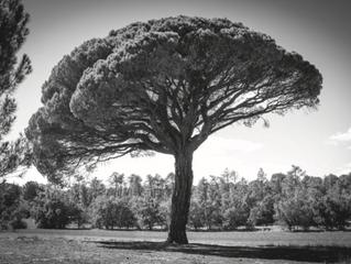 Bajo el Árbol de Pinea