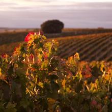 Los fascinantes vinos de Pinea